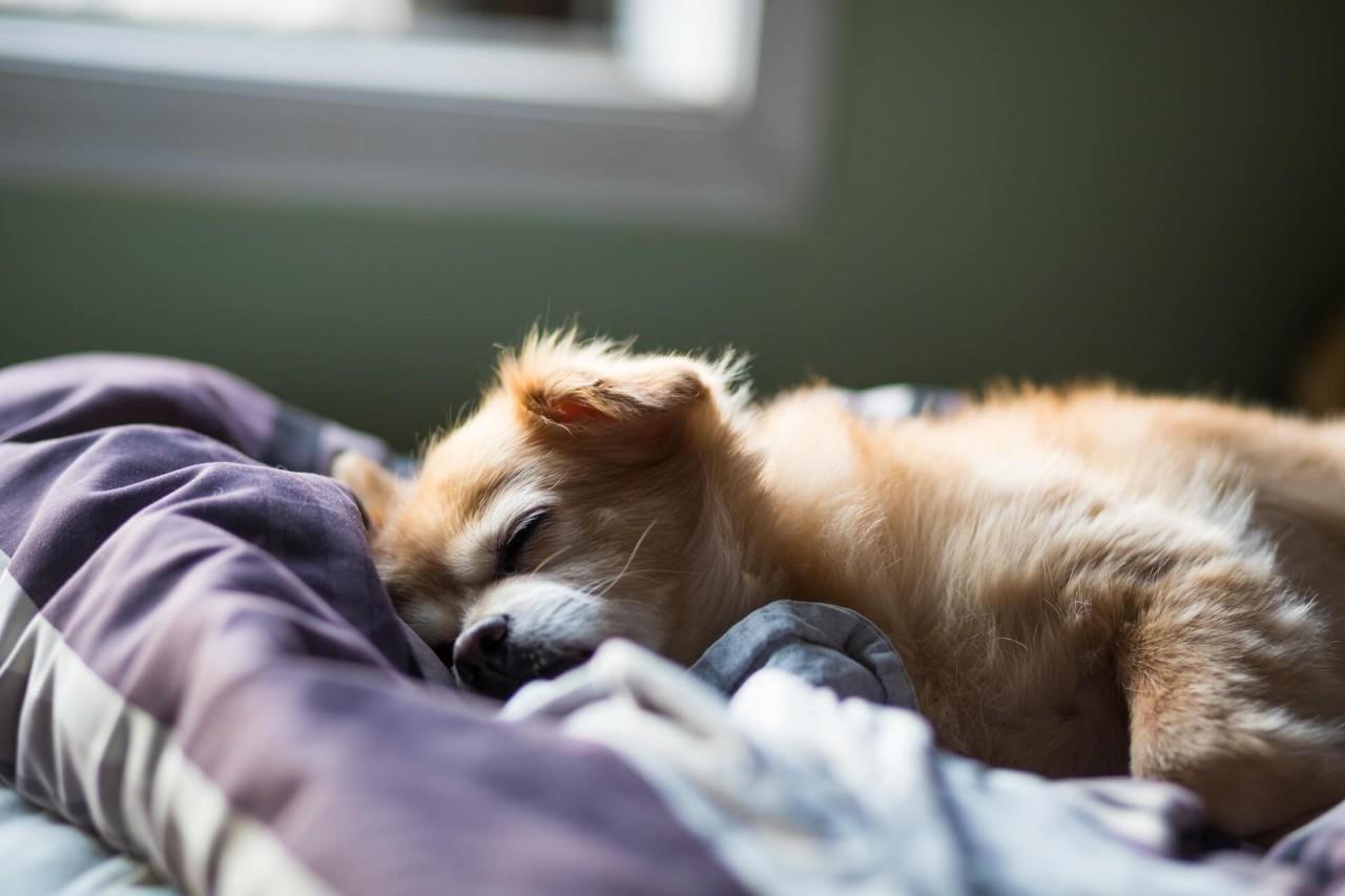 Hund-mit-Fieber-schla-ft-im-Bett