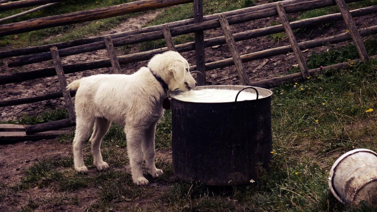 Viele-Hunde-vertragen-keine-Milch