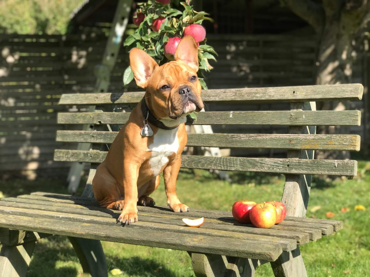 TeneFritz_Apfel_Obst_fur_Hunde