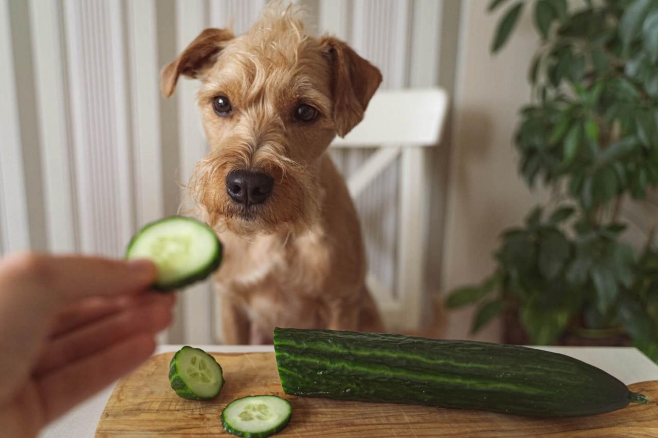 TENETRIO_Gemuse-fur-den-Hund_gesund-oder-giftig