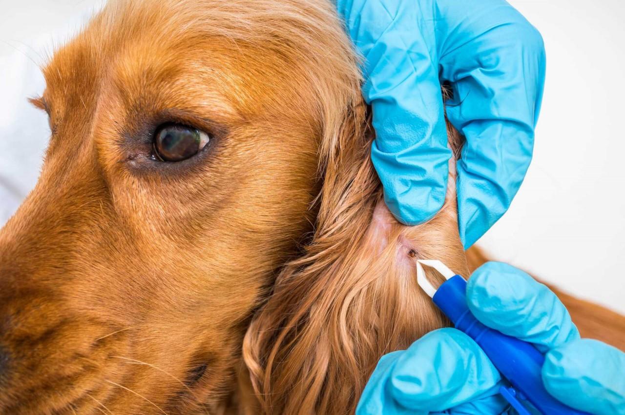 Zecke-Hund-Krankheiten_komprimiert